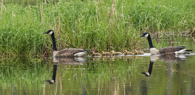 Canadian Geese with chicks